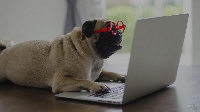 Деловой мопс в очках за ноутбуком