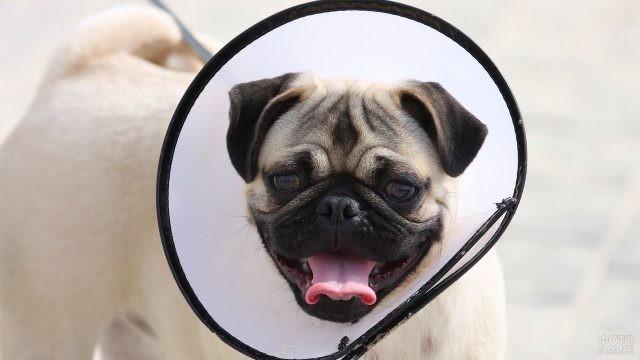 Довольный пёс в защитном воротнике