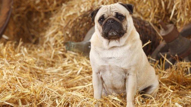 Любопытный пёс сидит в соломе