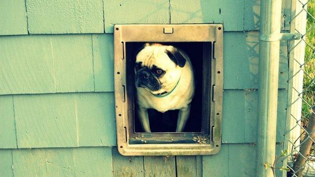 Серьёзный мопс выглядывает из дверцы для собак