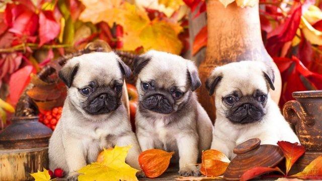 Щенки породистой собаки среди горшков и осенних листьев