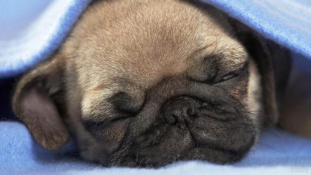 Спящая собака под голубым покрывалом