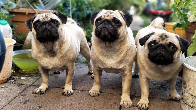 Три собаки смотрят вверх среди горшков с цветами