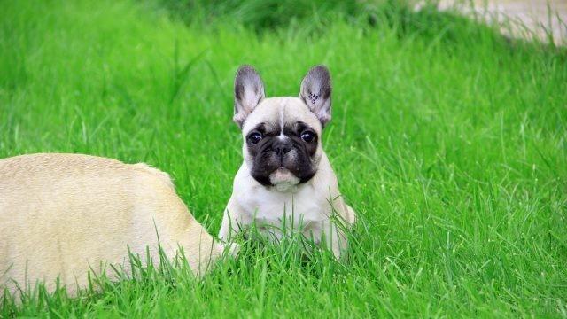 Внимательный мопс с торчащими ушами в траве