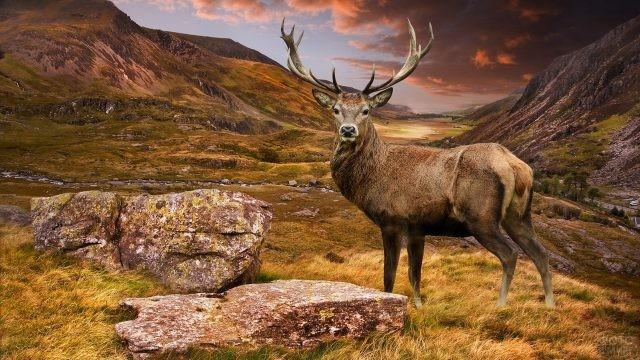 Благородный олень среди гор