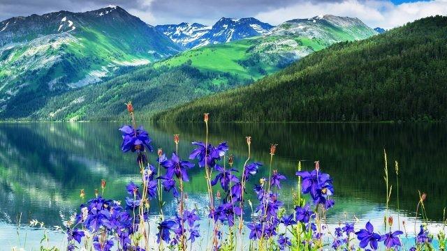 Цветы на берегу водоёма в Алтайском заповеднике