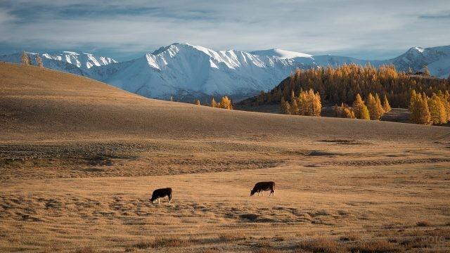 Коровы пасутся в Курайской степи