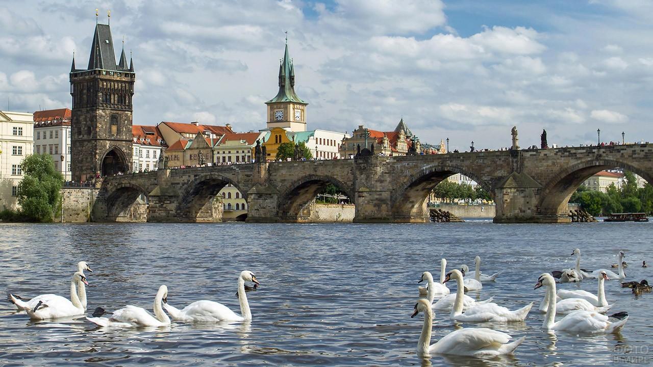 Белые лебеди на фоне Карлова моста