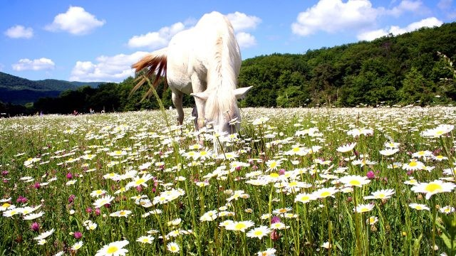 Белая лошадь пасётся среди ромашек