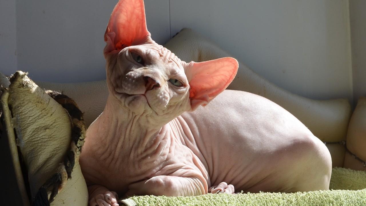 Белая лысая кошка на диване