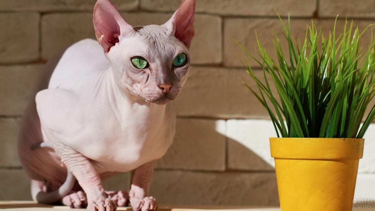 Египетская кошка возле горшка с травой