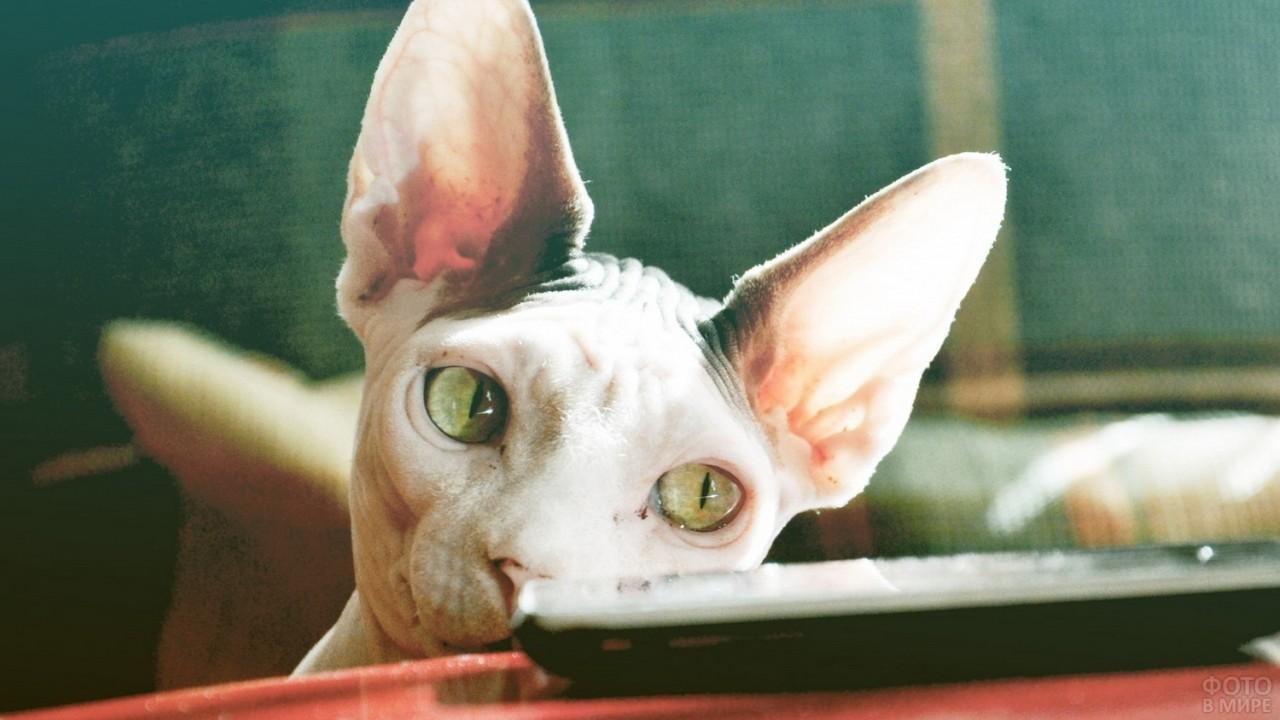 Кошка поглядывает на пульт на столе
