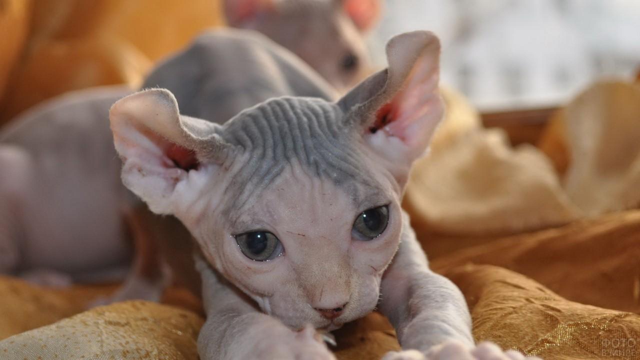 Котёнок лысой кошки на покрывале