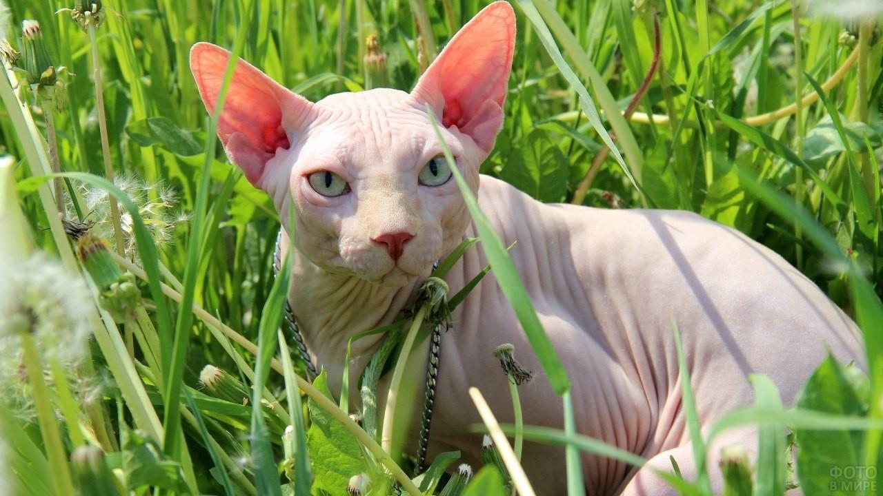 Лысая кошка лежит в траве