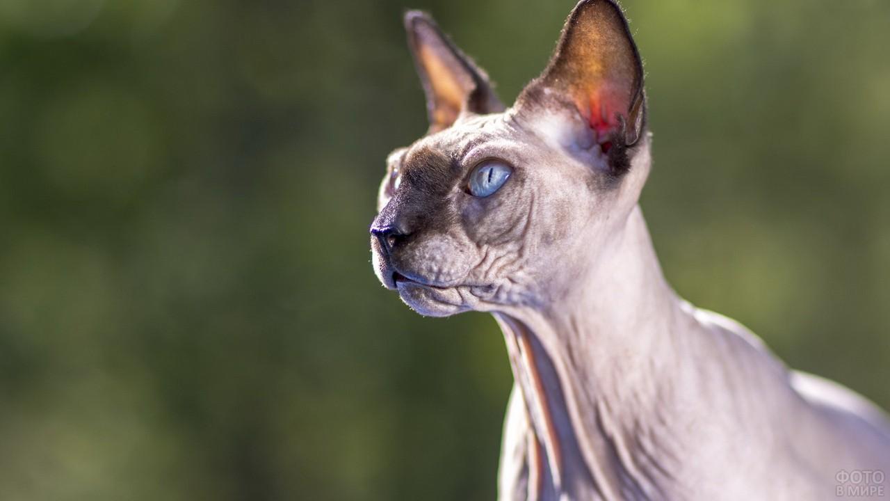 Лысая кошка смотрит в сторону