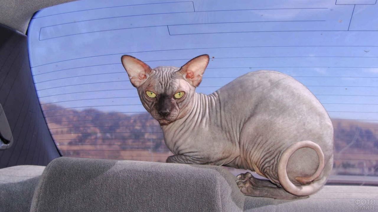 Лысый кот в салоне автомобиля