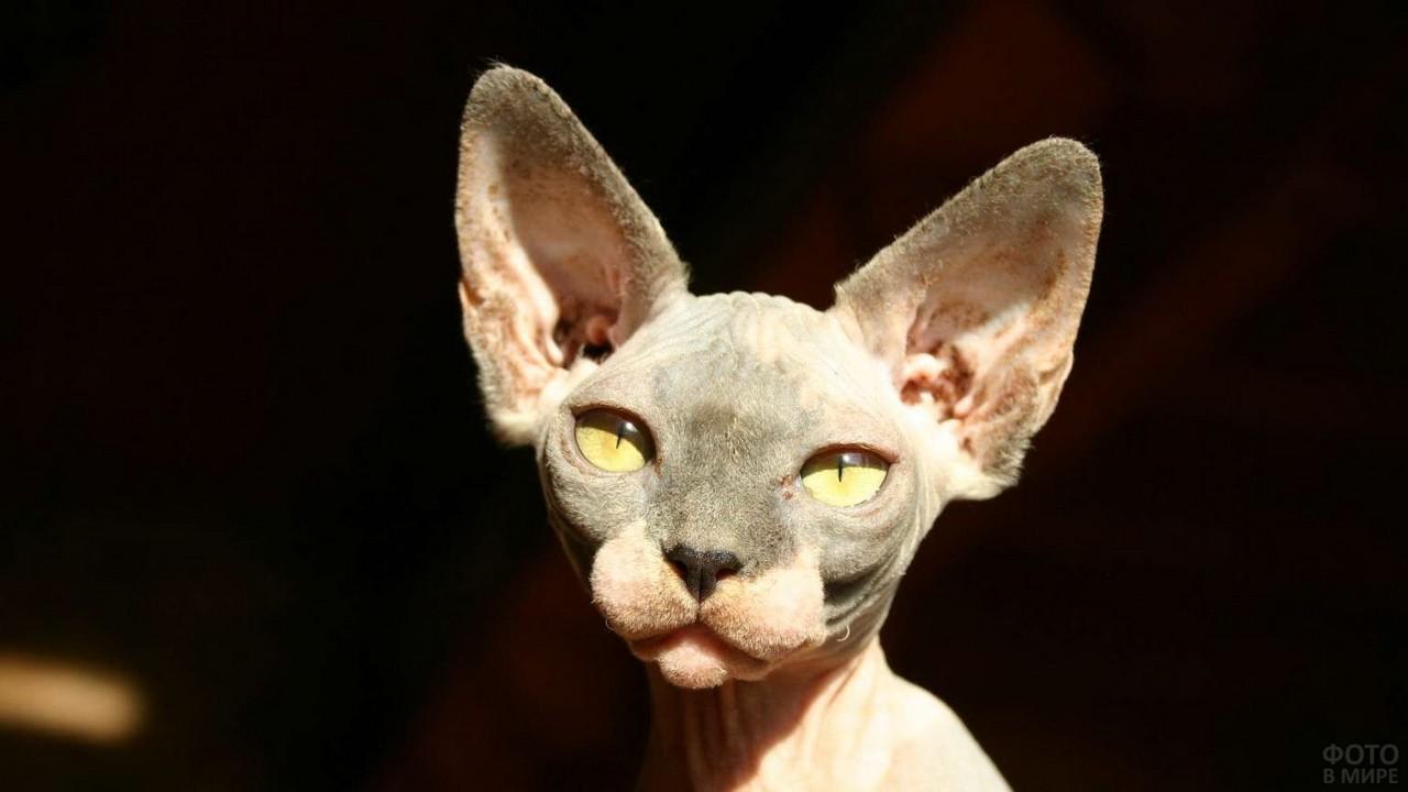 Освещённая солнцем лысая кошка