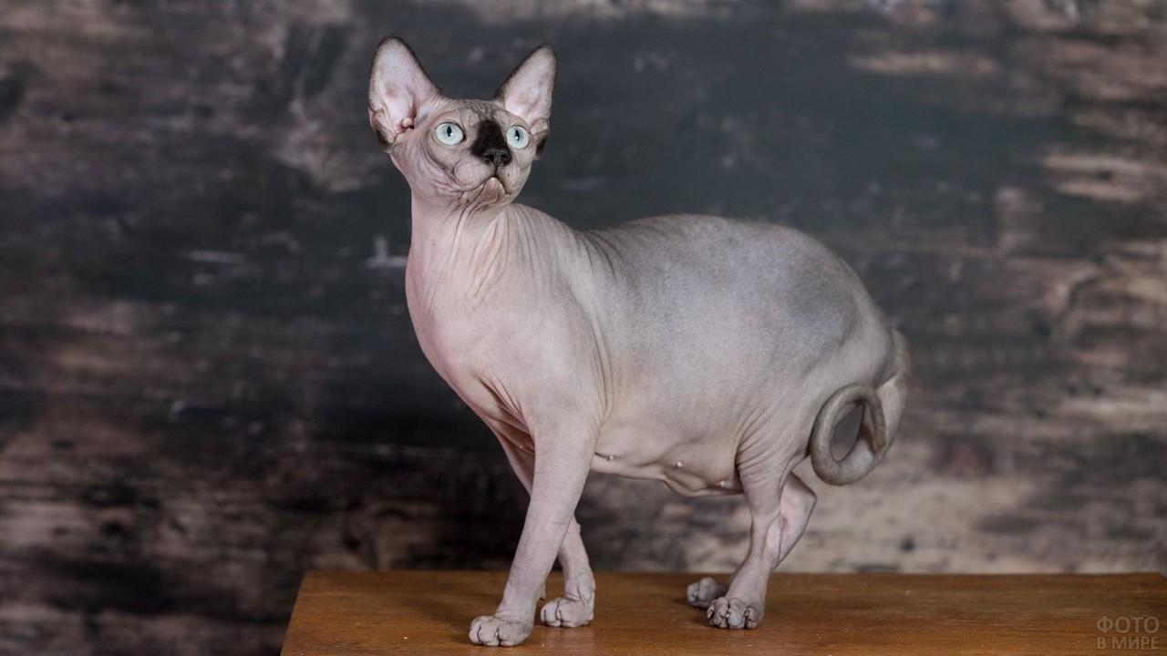 Породистая кошка смотрит вверх