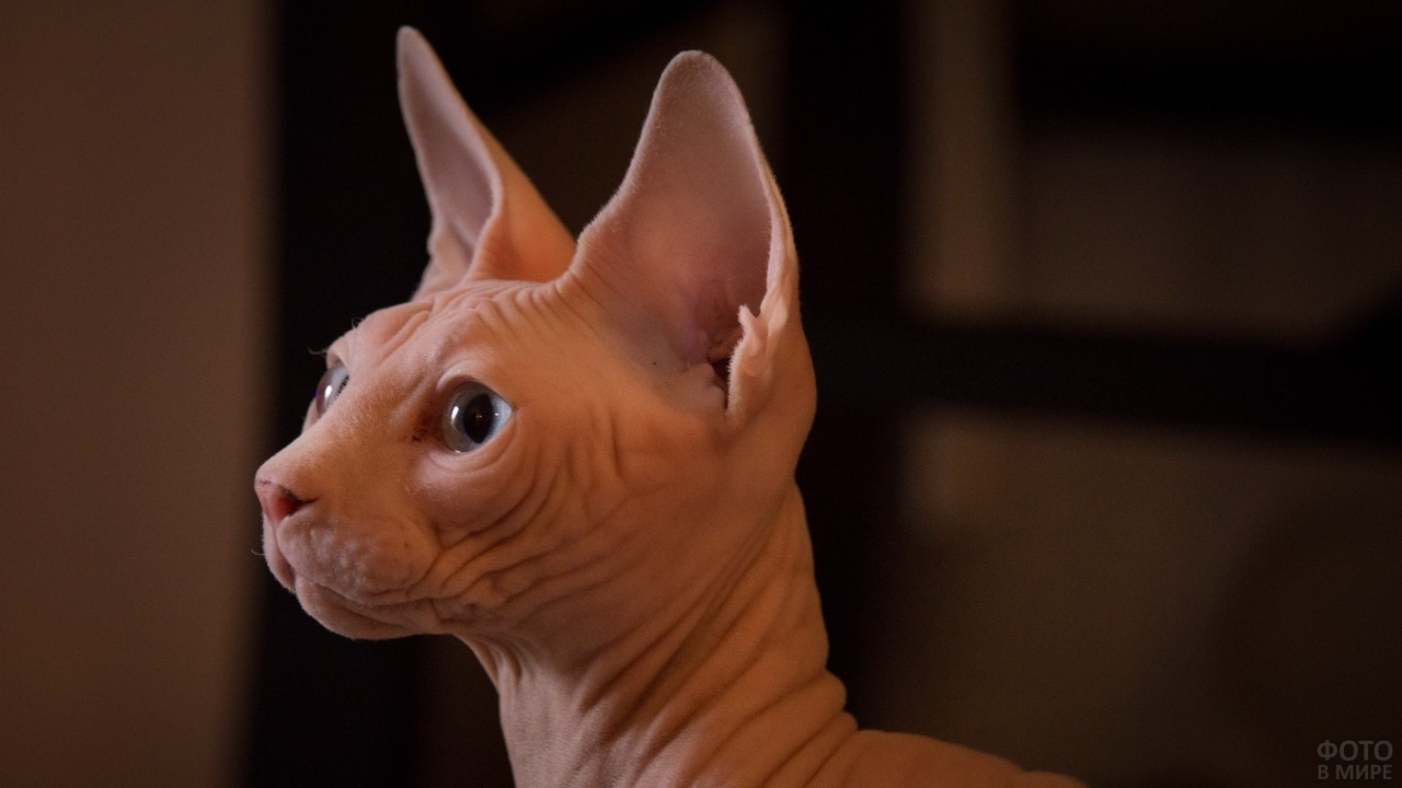 Портрет лысой кошки сбоку