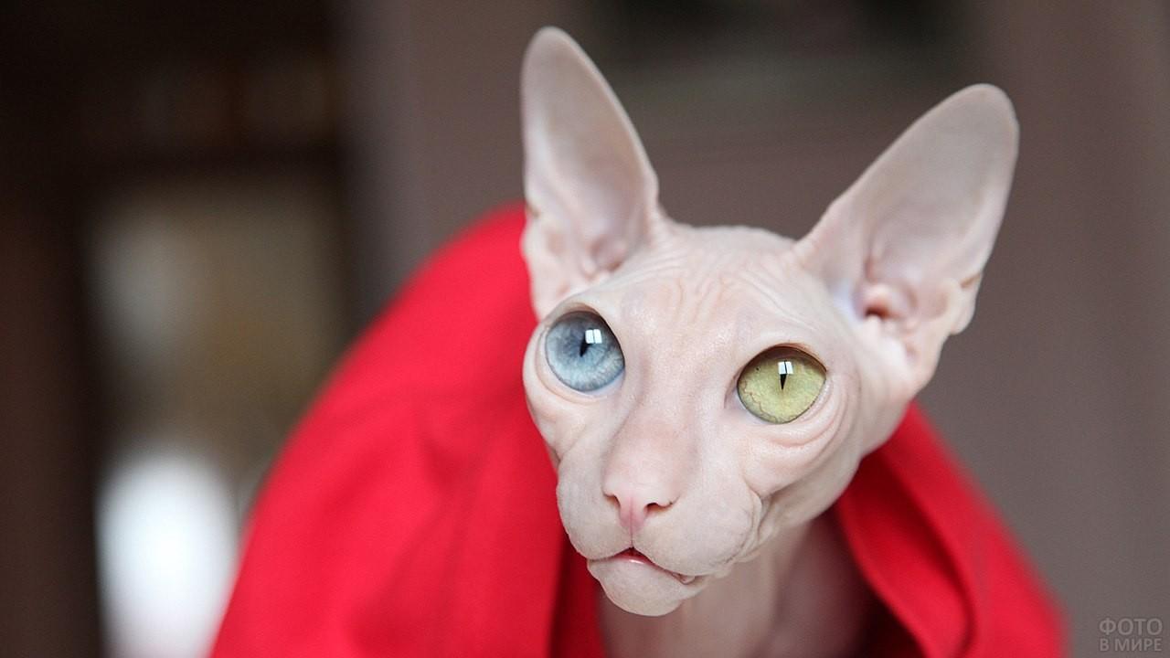 Разноглазая лысая кошка в красной накидке