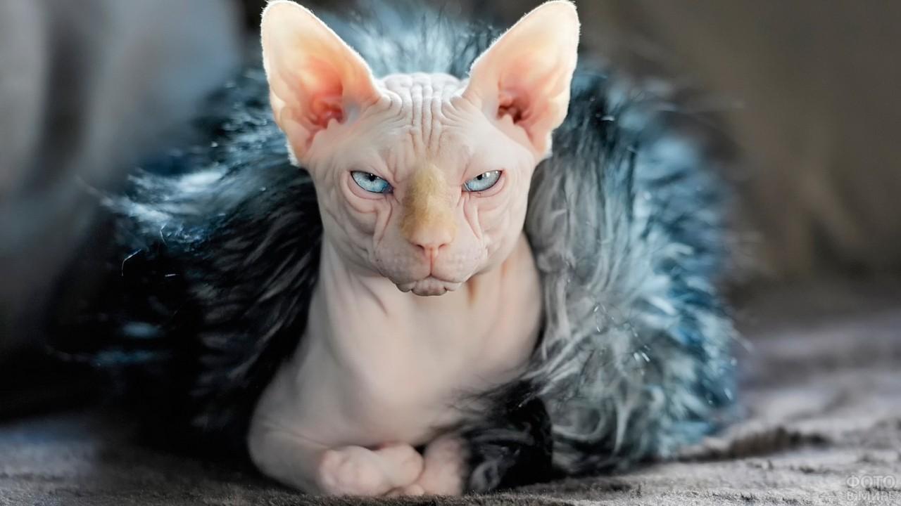 Серьёзная лысая кошка в меховом домике
