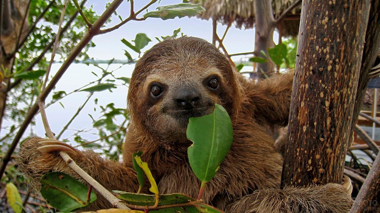 Австралийский ленивец с листочком