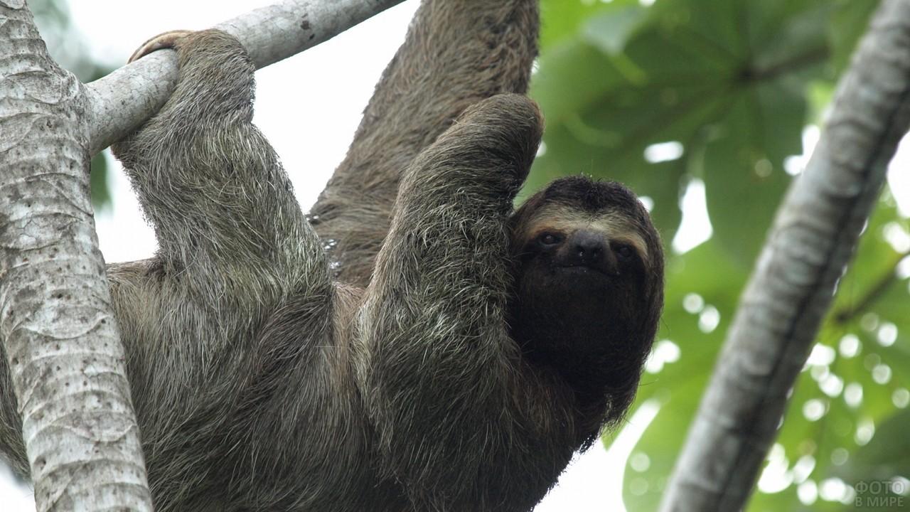 Бурогорлый ленивец висит на дереве