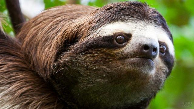 Коричневый ленивец крупным планом