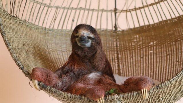 Коричневый ленивец сидит в подвисном кресле