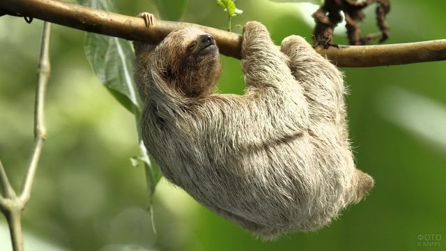 Ленивец держится за ветку дерева