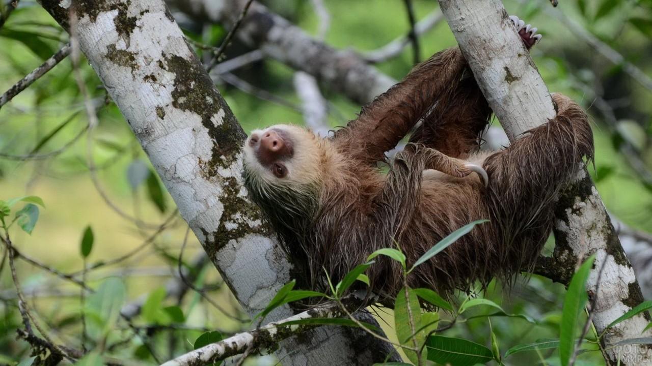 Картинка спящего ленивца