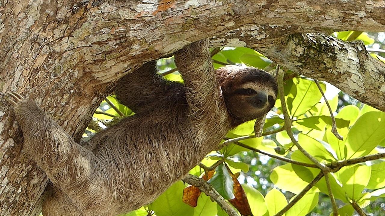 Ленивец лезет по дереву