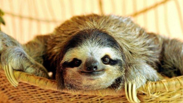 Ленивец лежит в плетёной корзине