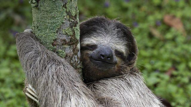 Ленивец обнимает ствол дерева