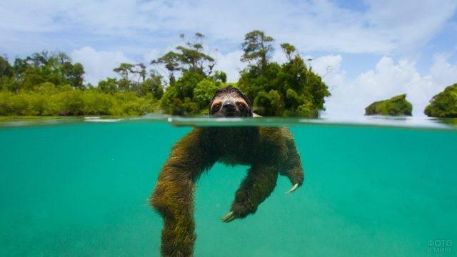 Ленивец плывёт в бирюзовой воде