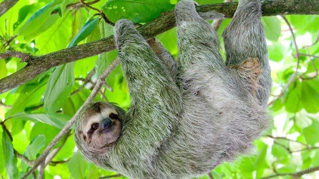 Ленивец висит на дереве