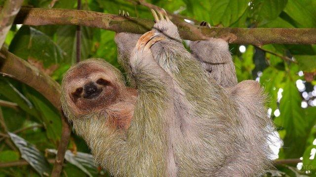 Ленивец висит на ветке дерева