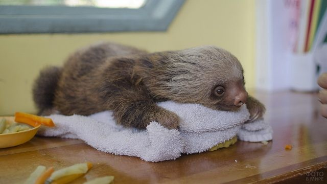 Маленький ленивец лежит на столе