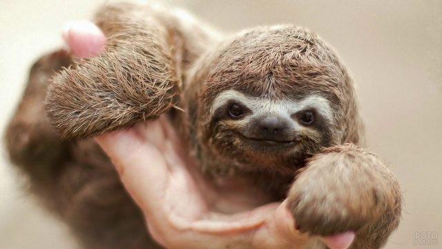 Маленький ленивец на руке человека