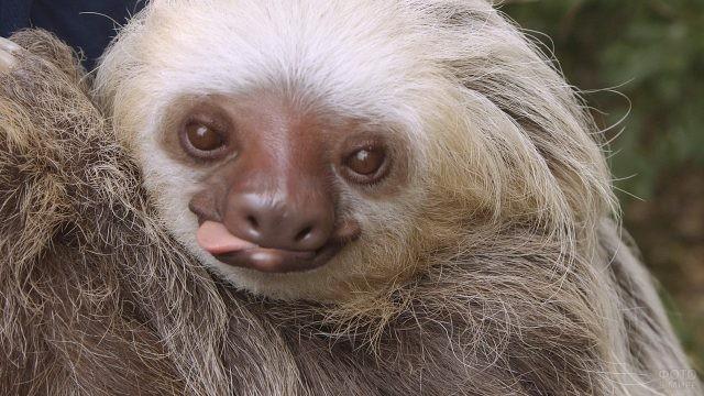 Маленький ленивец показывает язык