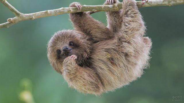 Маленький ленивец висит на ветке