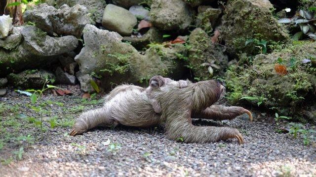 Малыш ленивец лежит верхом на маме