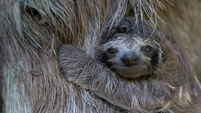 Малыш ленивец обнимает маму