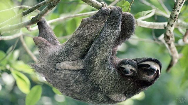 Мама и малыш ленивцы висят на ветке