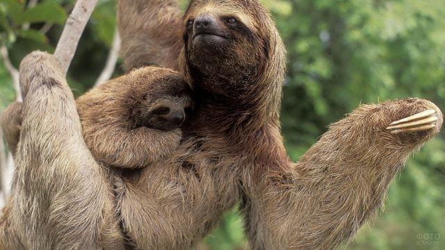 Мама ленивец со своим детёнышем