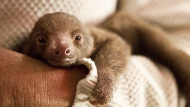 Новорождённый ленивец на руках человека