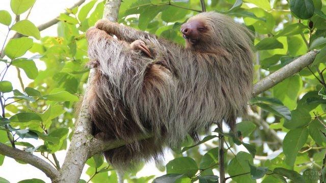 Спящий ленивец на дереве