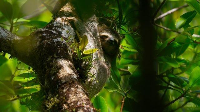 Спящий ленивец висит на дереве