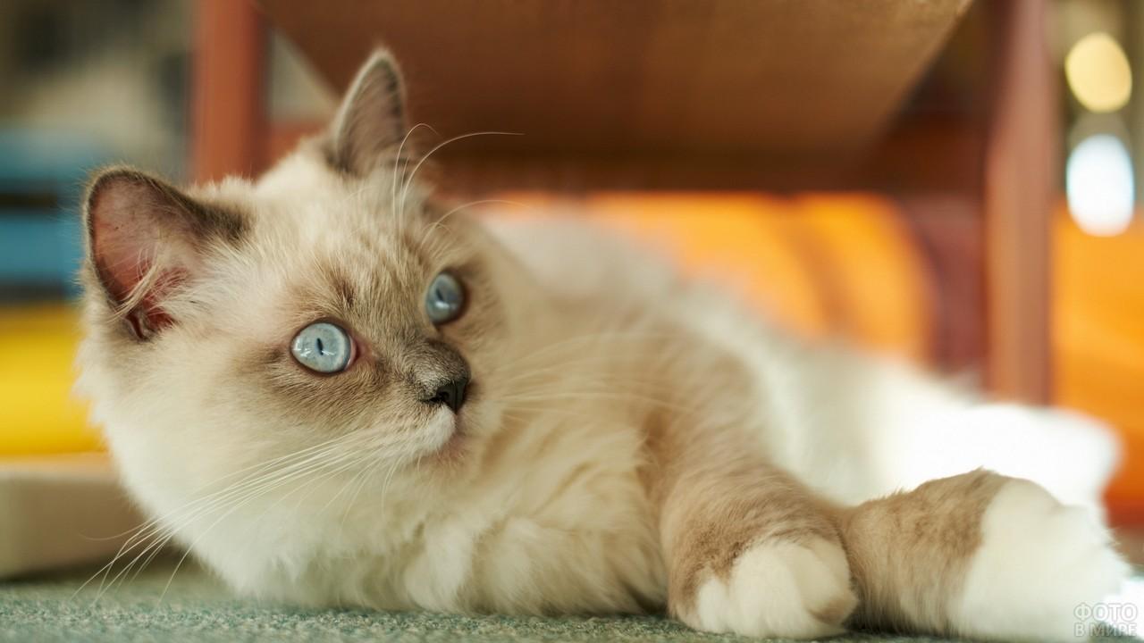 Бирманская кошка окраса лилак-пойнт на полу