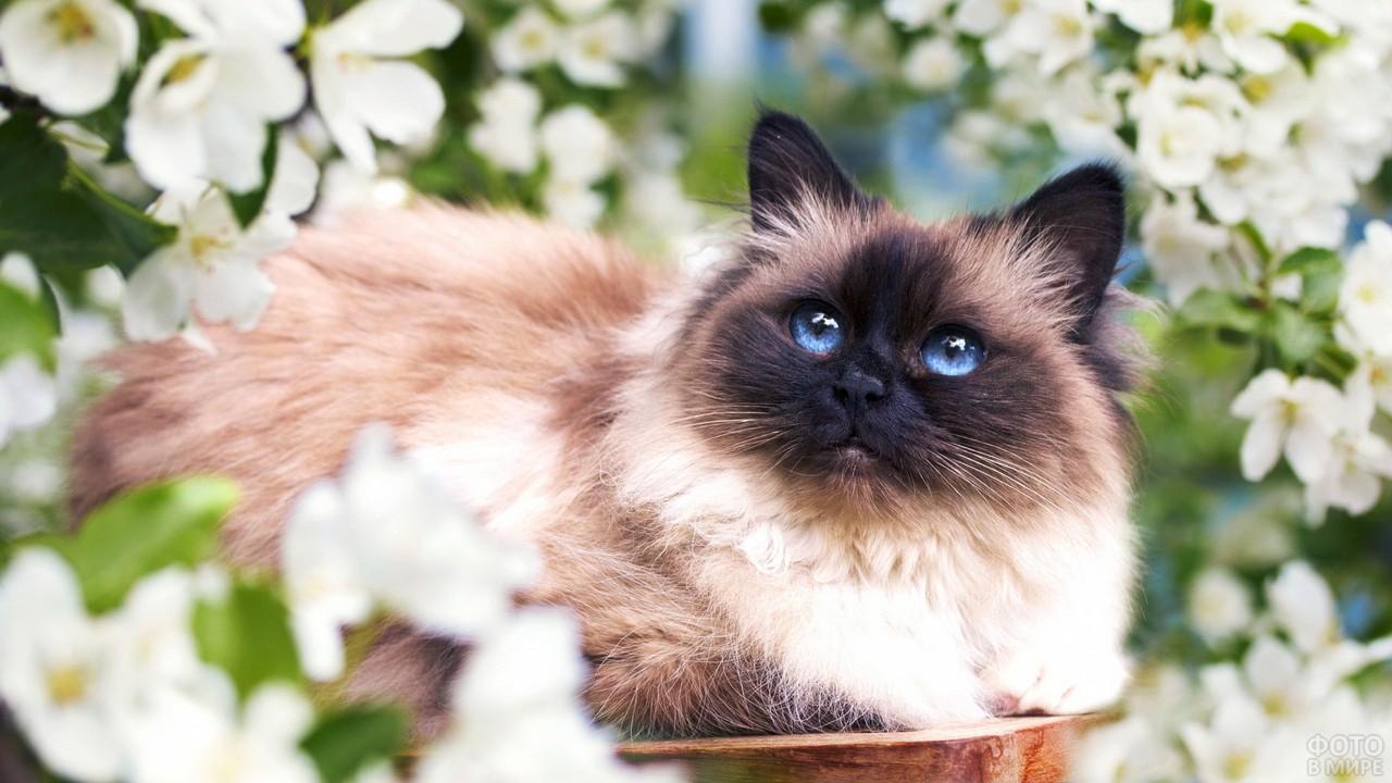 Бирманская кошка среди белых цветов
